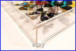 10x10 NOUVEAU , Real butterfly display, Real butterflies mounted in an acrylic display , framed butterflies, morpho, butterfly art