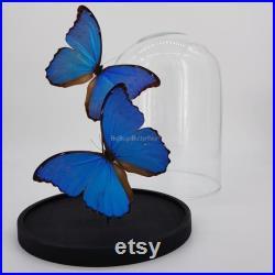 2 vrai Morpho Didius en dôme entomologie taxidermie curiosa insecte nature papillon photographie exotique déco naturelle