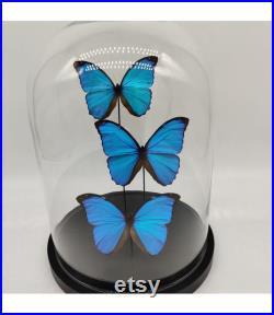 3 vrai Morpho Menelaus en dôme taxidermie entomologie curiosa insecte nature papillon photographie exotique déco naturelle