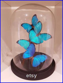 4 vrai Morpho Menelaus en dôme taxidermie entomologie curiosa insecte nature papillon photographie exotique déco naturelle