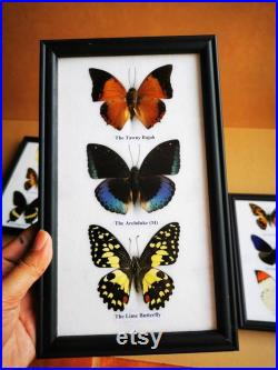 5 x Collection Butterfly Taxidermy Insect Wood Frame Portrait Display Home Decor