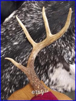 8 Point Deer Antler Mont