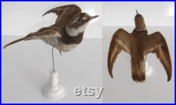 ANTIQUE TAXIDERMY BIRD Common Ringed Plover, circa 1869