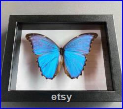 Affichage d entomologie de Morpho Didius dans le cadre de boîte d ombre.