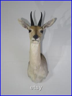 African Reed Buck épaule monture à vendre.