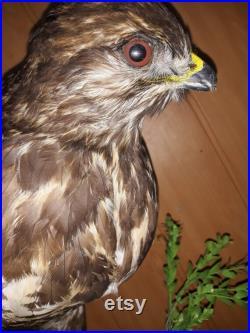Autour des palombes de taxidermie Hawk Oiseau de proie Real Stuffed monté