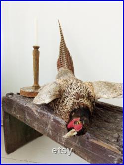 Awesome antique Pheasant Taxidermy, taxidermie réelle, oiseau taxidermie, faisan sur planche de bois, mur monté, natures encore . CHARMANT