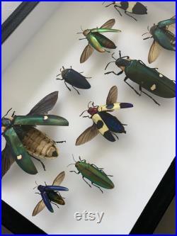 Beetle Mix Frame différents coléoptères bijoux entomologie éthique Royaume-Uni