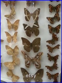 Belle collection de papillons papillons de nuit encadrées vintage