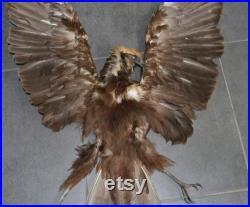 Bird Real peau et ailes et pattes faucon Plumes Taxidermie