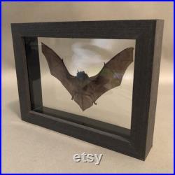 Chauve-souris de taxidermie dans le cadre en bois noir