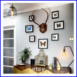 Claudina Agrias Butterfly Frame, Taxidermie papillon, Papillon en cadre (Agrias claudina) Cadeau papillon