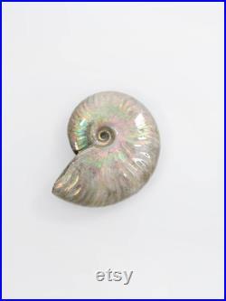 Cleoniceras Ammonite avec les Mauves opalescents 3.1