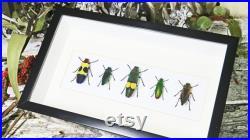 Coléoptères de bijou encadrés dans les insectes réels de boîte d ombre BEJB5