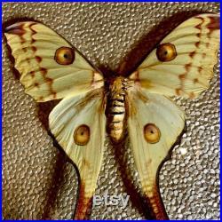 Comète Moth dans le cadre en bois orné