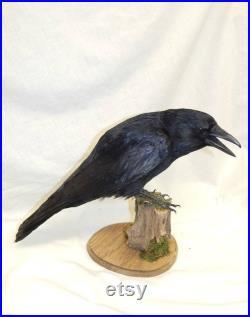 Corbeau de taxidermie fait à commander très semblable, La base peut être colorée comme indiqué ou le choix des acheteurs noirs