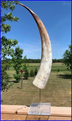 Corne de vache, corne de vache Watusi polie sur support métallique et acrylique, corne de bétail africaine Taille env. 35 (droite mesurée) La base est d environ 6