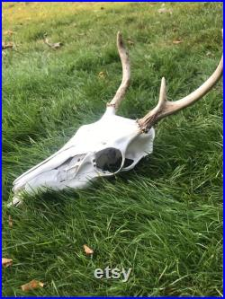 Crâne avec des bois