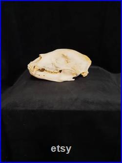 Crâne d'ours