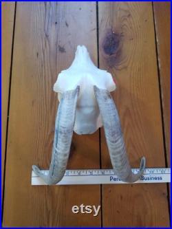 Crâne de chèvre 276
