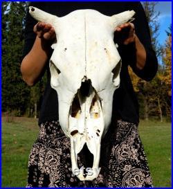 Crâne de vache naturel, crâne Animal réel, Decor païenne gothique, effrayant projets Macabre, fournitures de vaudou, de vache de Taxidermie, grand crâne Animal