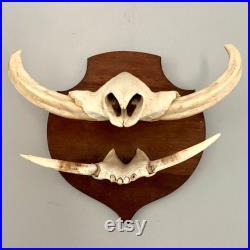 Crâne de warthog de taxidermie monté sur le bouclier en bois