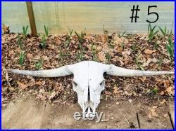 Crâne écossais de bétail de montagne, crâne véritable de vache pour la décoration ou l'art de DIY