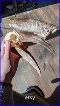 Crâne hornbill complet à casque noir