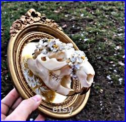 Crâne véritable de castor dans le cadre de cru