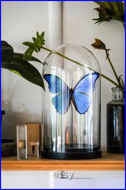 Dôme d entomologie de Morpho Didius. Taxidermie, Entomologie, Curiosités.