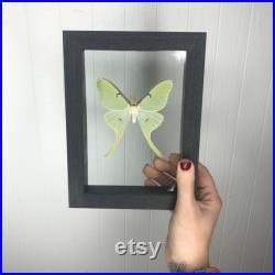 Encadré Real Luna Moth dans wood double cadre en verre