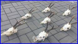 Ensemble de 7 Perfect Roe Deer Skulls Antlers Complete Ensire Unsawn Skull Teeth Gothic taxidermy collectionnez l exposition de jardin d anatomie