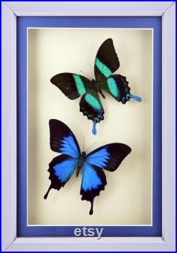 Ensemble de Papilio Ulysse et Papilio Blumei dans shadowbox de qualité