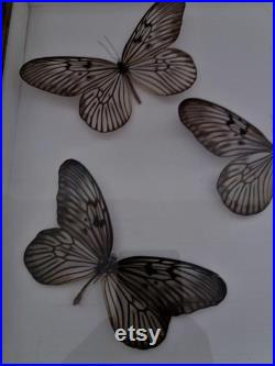 Entomologie cadre avec papillons idea blanchardii
