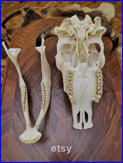 European Bull Skull Horns Antlers Head Home Decor Display Shamanic Healing Gothic Vikings Ornament Taxidermy
