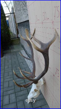 European Red Deer Complete Skull with Antlers Ram Bull Horns Sheep Head Home Decor Display Shamanic Healing Gothic Ornament Taxidermy 490