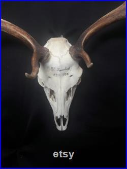 Fallow deer skull crâne de daim