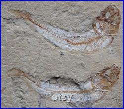 Fossile de poisson Gaudryella 08R