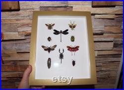 Grand cadre vitrine entomologie 10 spécimens cigale abeille géante insecte lanterne criquet curiosité taxidermie oddities mantis flower