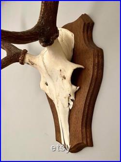 Grand crâne de taxidermie de fourmir de cerf rouge, montage de mur