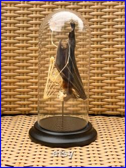 Half Half skeleton Tylonycteris Robustula dans Cloche en verre,insecte taxidermie photographie