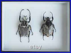 Insecte naturalisé, cadre entomologie Coléoptère Goliathus goliathus meleagris (couple)
