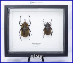 Insecte naturalisé sous cadre, cabinet de curiosité entomologie