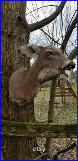 L un d un genre Beast Demon Rouge Taxidermy whitetail deer doe zombie créature taxidermy monter spécimen curiosités freakshow albinos