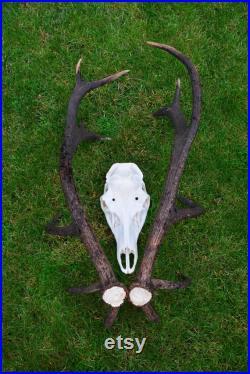 Made To Order Cerf bois SET avec vrai crâne de cerf Paire de cerfs rouges cerf cerf européen cerf rouge bois UNIQUE bois Montage possible présent