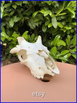 Magnifique crâne d agneau Percy