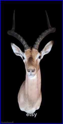 Magnifique support d'épaule Impala. boîte cadre taxidermie entomologie nature, beauté insecte taxidermie photographie
