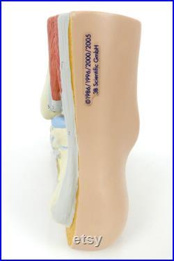 Modèle anatomique de pied didactique Cabinet de curiosités