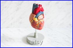 Modèle cardiaque humain