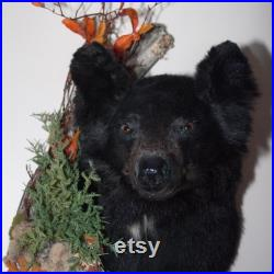 Monture noire de taxidermie d ours